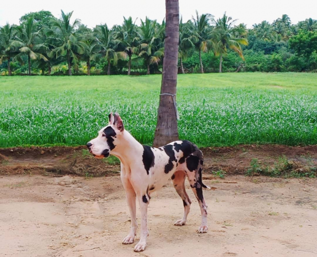 Great Dane Female Dog for sale in Sakthi Dane Tiruchengode