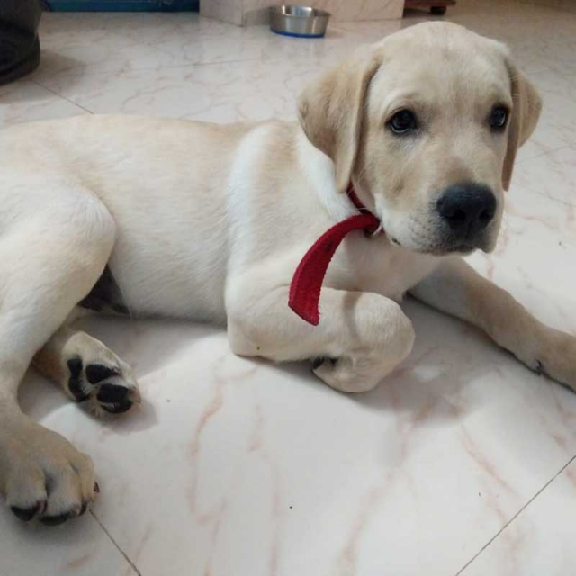 Awesome Male Labrador Retriever Puppy for sale in Bengaluru