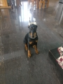 Female doberman 7 month old puppy for sale in Bengaluru Karnataka