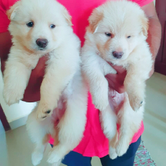 KCI Registered Dog Breeders List in India, Puppies for Sale