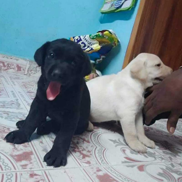 Female Labrador puppy Available for sale in Chennai