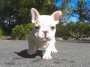 Ultimate show quality French Bulldog puppies for sale Bengaluru