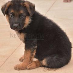 Coimbatore Dog breeders