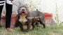 American bully puppies in India Singh Bulls kennel Delhi
