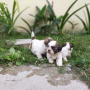 Shih-tzu Puppies Available for sale in Hyderabad Telangana