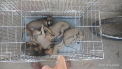Chippiparai puppies for sale in Chennai