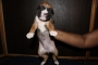Champion Line Boxer Puppies for sale in Hyderabad Telangana