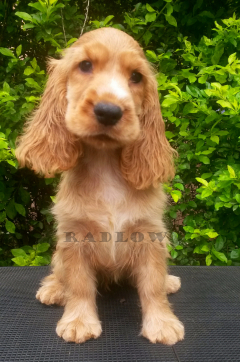 Buy KCI Registered puppies from verified Dog Breeders in India