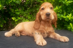 Radlow Cocker Spaniels puppies for sale in Bengaluru