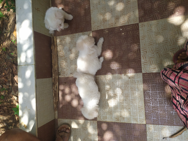 Pomeranian 3 male puppy for sale in Thiruvananthapuram