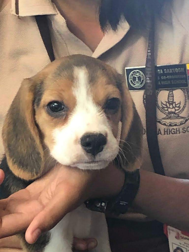 Beagle female puppy for sale in Bangalore Karnataka