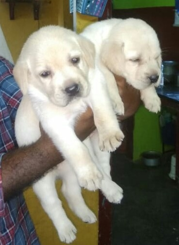 Labrador retriever for sale in Chennai