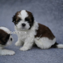 Shih Tzu Puppies Available for sale Hyderabad Telangana