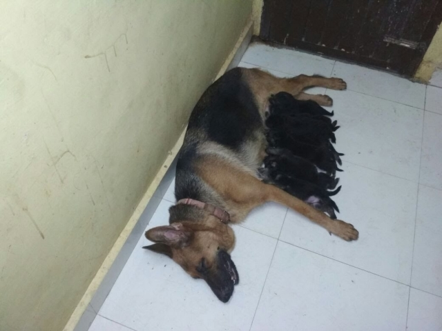 German Shepherd male and female puppies for sale in chennai