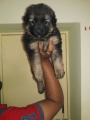 2 months old german shepherd puppy for sale in maharashtra