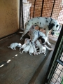 Pet Quality Dalmatian puppies for sale in Coimbatore