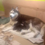 Show quality Male Siberian Husky with blue Eyes sale in Hyderabad