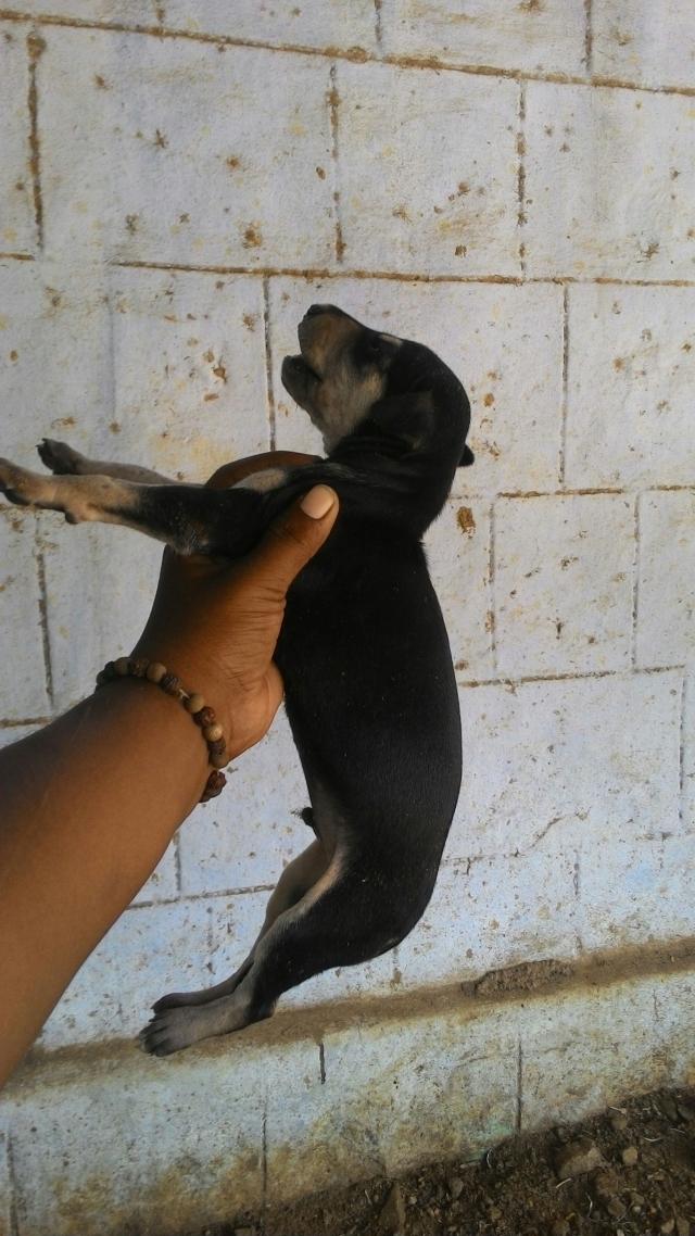 Chippiparai Kanni dogs for sale in Madurai