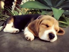 Beagle puppies