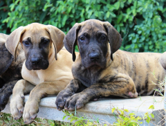 brindle and fawn Great Dane puppies