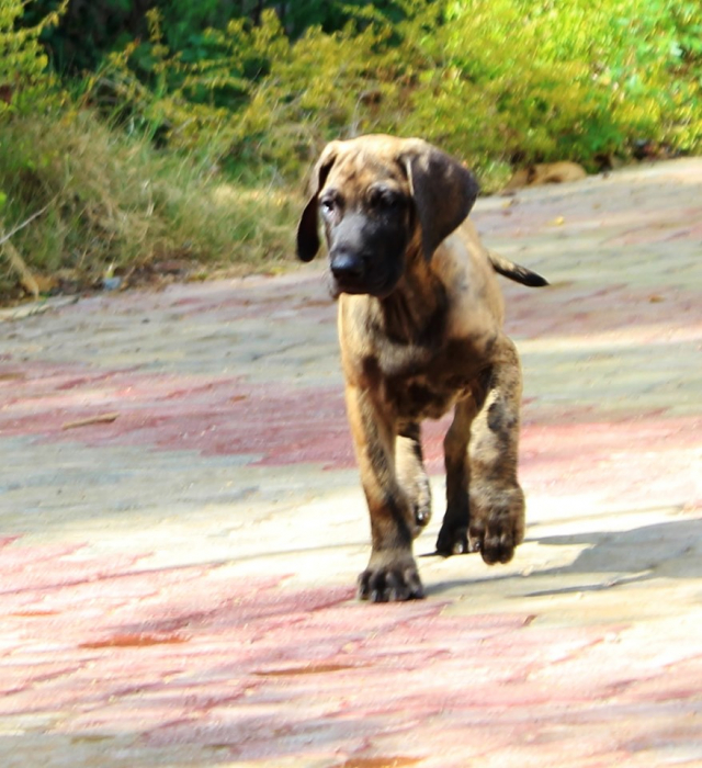 brindle female puppied