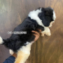 Shih Tzu black and white puppy available for sale in Chennai