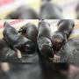 Long coat German Shepherd Male Puppies for sale in Ambala