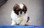 shih tzu pups available in Kolkata West Bengal