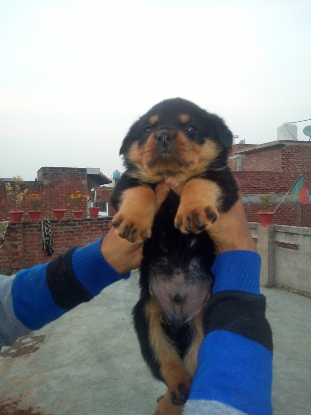 Rottweiler Puppies Are Available In Kanpur Uttar Pradesh