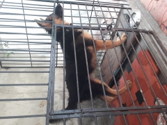 Heavy bone pet quality German Shepherd puppy for sale in kerala