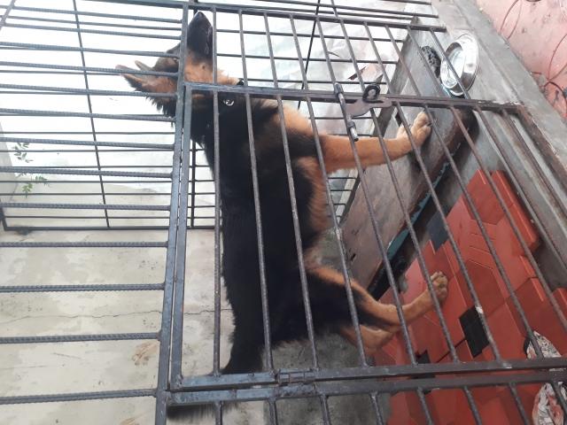 Heavy bone pet quality German Shepherd puppy for sale in kerala