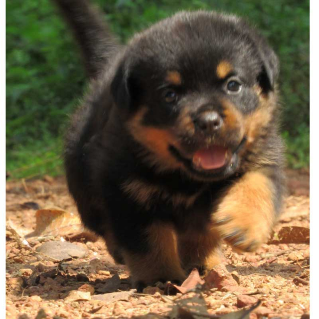 Champion blood line Rottweiler Puppy for sale in Calicut