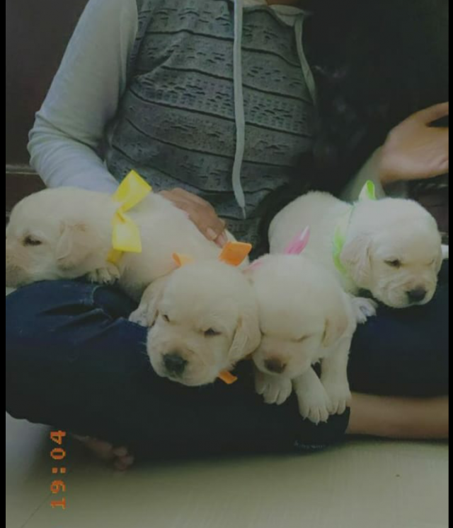 Show quality Labrador puppies for sale in Bangalore Karnataka
