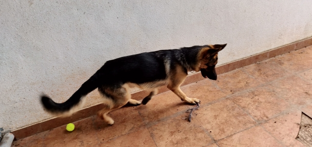 One year old German shepherd puppy for sale in pune