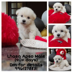 Lhasa Apso Male Puppy for sale in Ernakulam Kerala