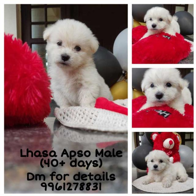Lhasa Apso Male Puppy for sale in Ernakulam Kerala
