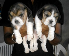 Beagle Puppies in delhi