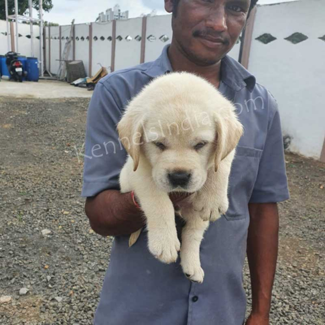 Best Labrador Puppies Available For Sale in Pune, Maharashtra