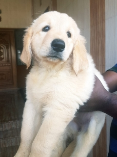 Golden retriever female puppy Ooty