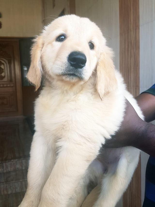 Golden retriever female puppy Ooty