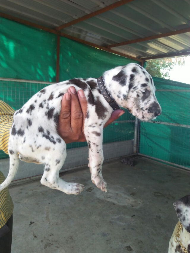 tri color Great Dane Puppy  for sale in Vadodara Gujarat
