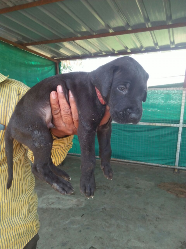 Black Great Dane Puppy  for sale in Vadodara Gujarat