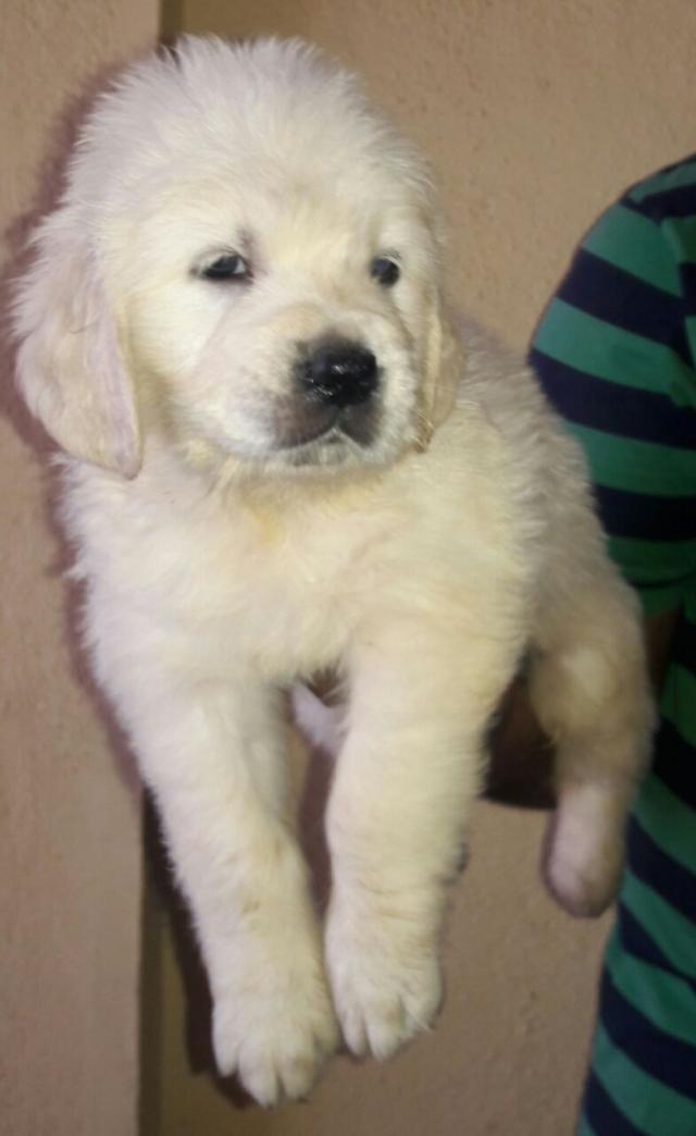 Golden retriever puppy sales in Chennai India