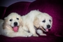 show quality heavy size golden retriever available in Chennai