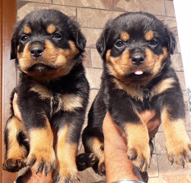 Rottweiler Puppies for sale in Bengaluru