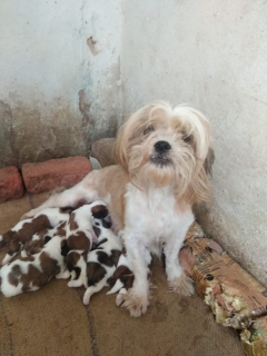 Top quality Lhasa Apso puppies for sale in Hyderabad
