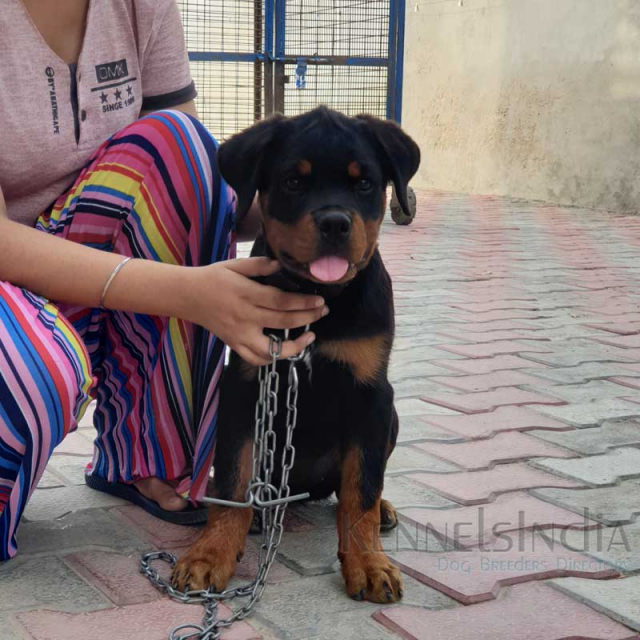 Famous Dog Enero se ungo Rottweiler Puppies available for sale