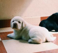 Labrador Retriever Puppies in Bengaluru