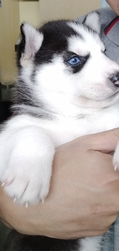 Syberian husky puppies with blue eye and gray eyes