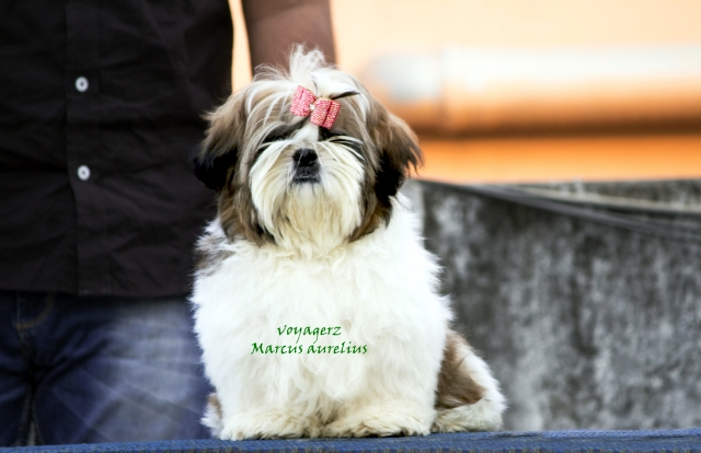 Top Quality shihtzu pups with proven blood lines available